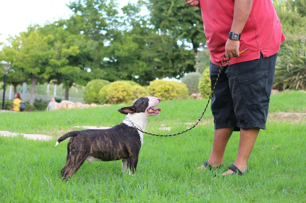 Gio-bull-terrier-miniatura (11)
