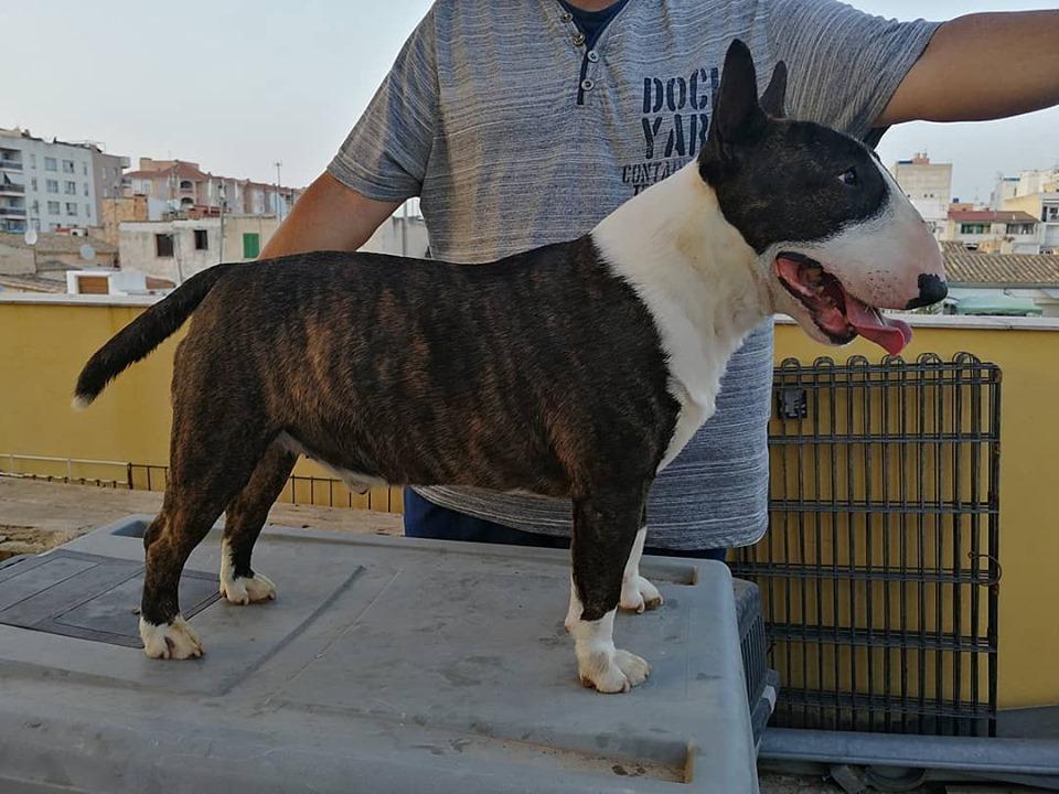 Gio-bull-terrier-miniatura (12)