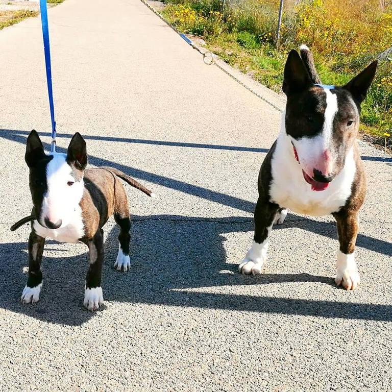 Gio-bull-terrier-miniatura (3)