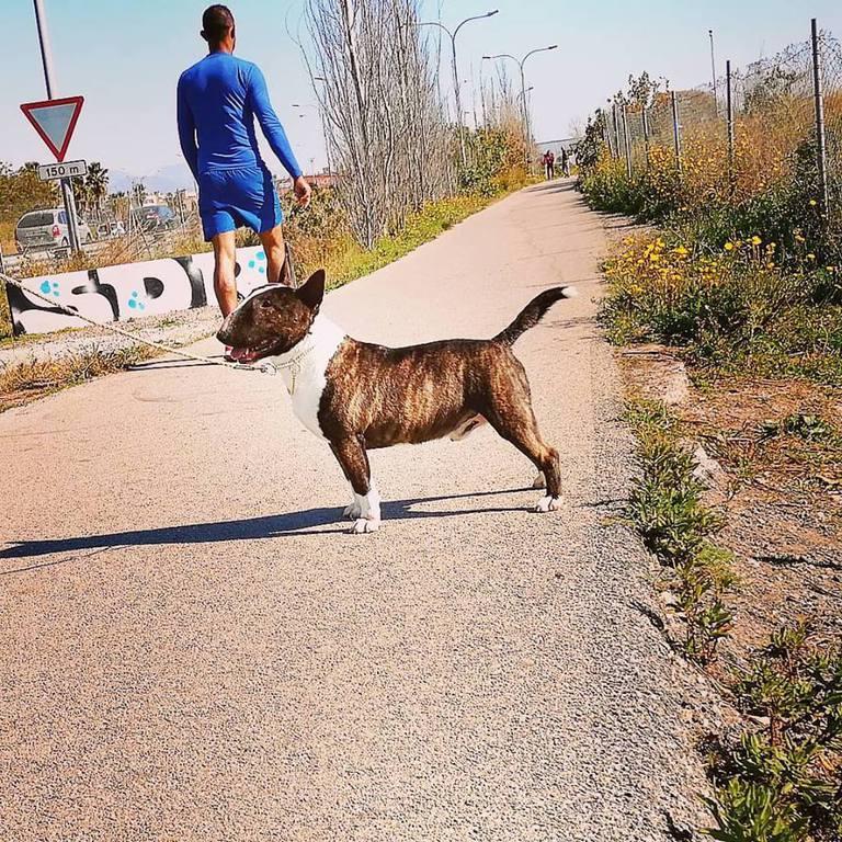 Gio-bull-terrier-miniatura (4)