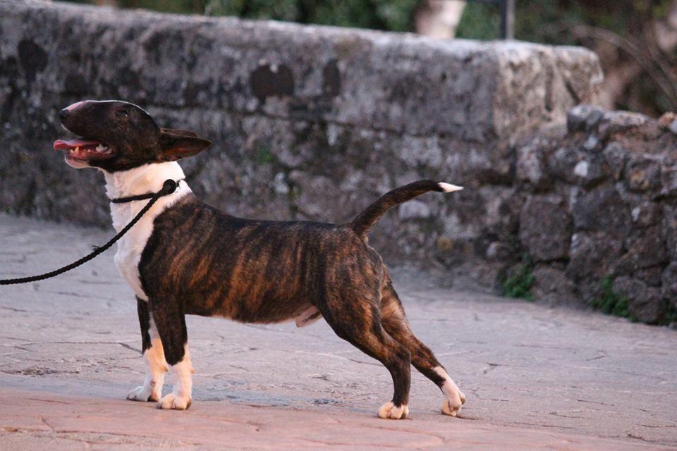 Gio-bull-terrier-miniatura (5)