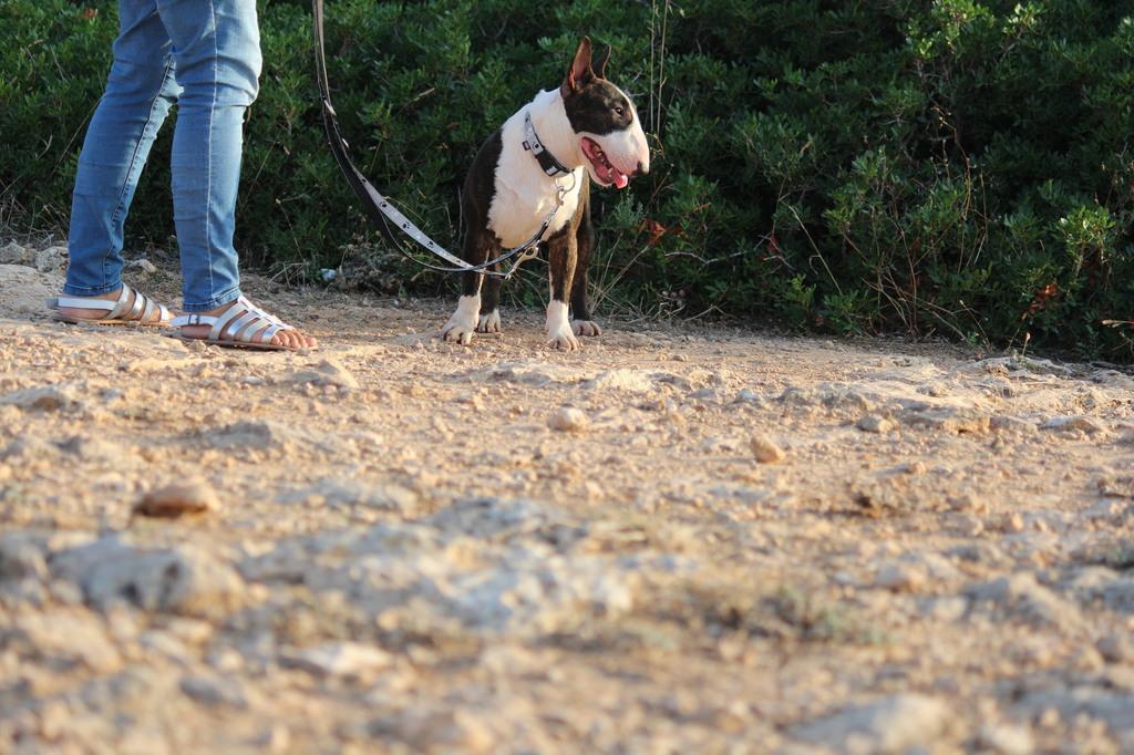 Gio-bull-terrier-miniatura (6)