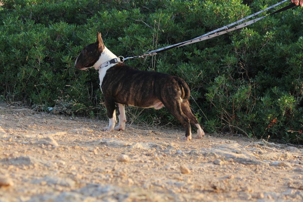 Gio-bull-terrier-miniatura (8)