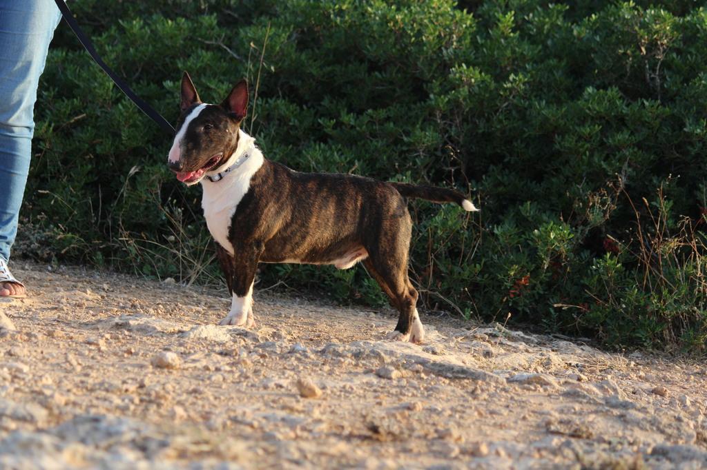 Gio-bull-terrier-miniatura (9)