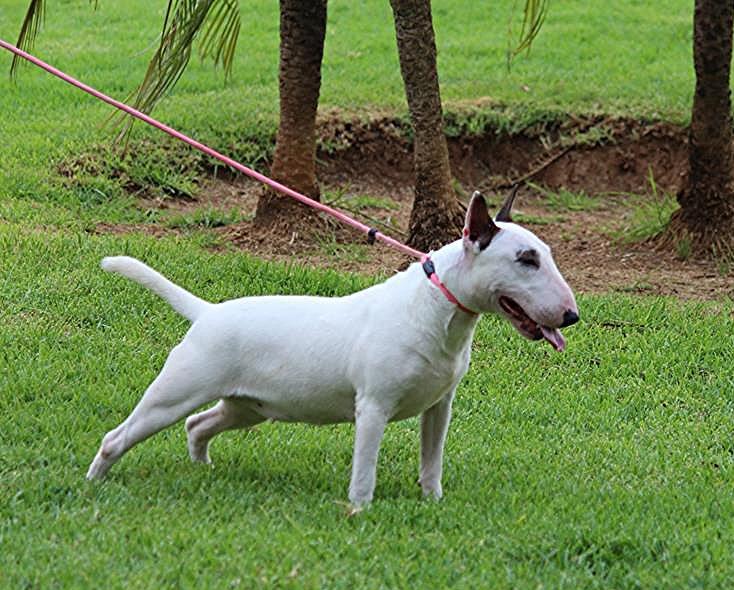 Hira-bull-terrier-mini (10)