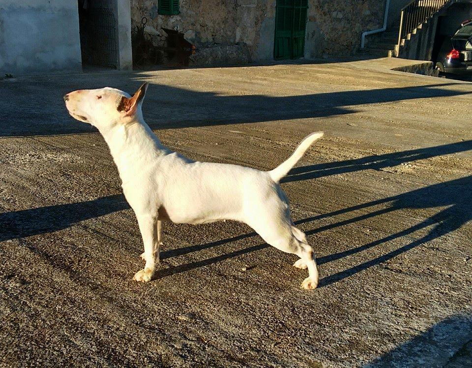 Hira-bull-terrier-mini (12)