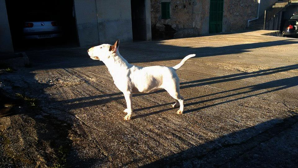 Hira-bull-terrier-mini (13)