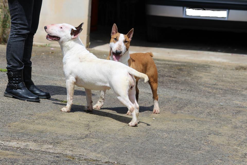 Hira-bull-terrier-mini (14)