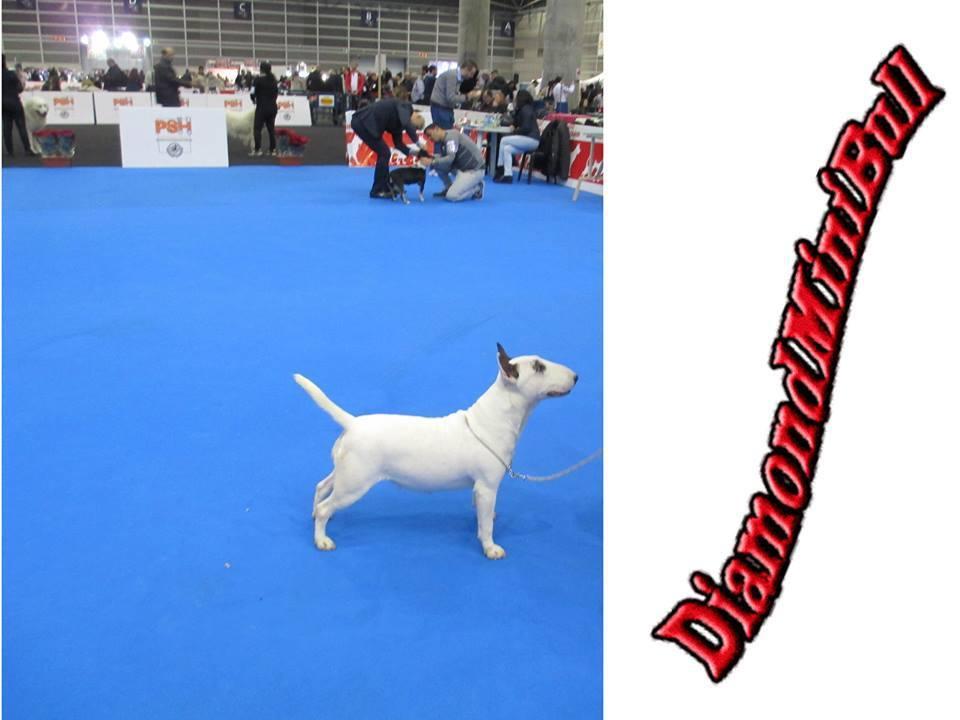 Hira-bull-terrier-mini (16)