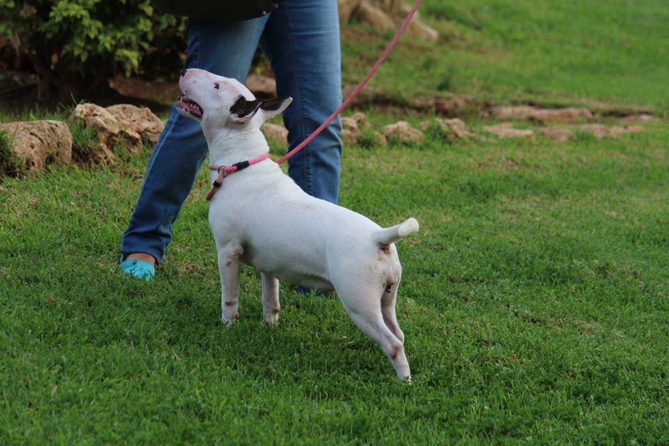 Hira-bull-terrier-mini (2)