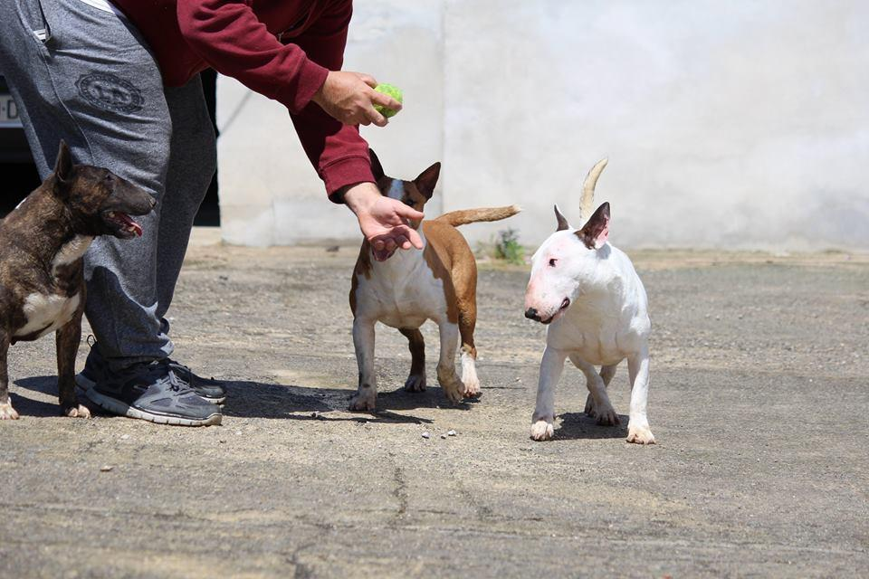 Hira-bull-terrier-mini (5)