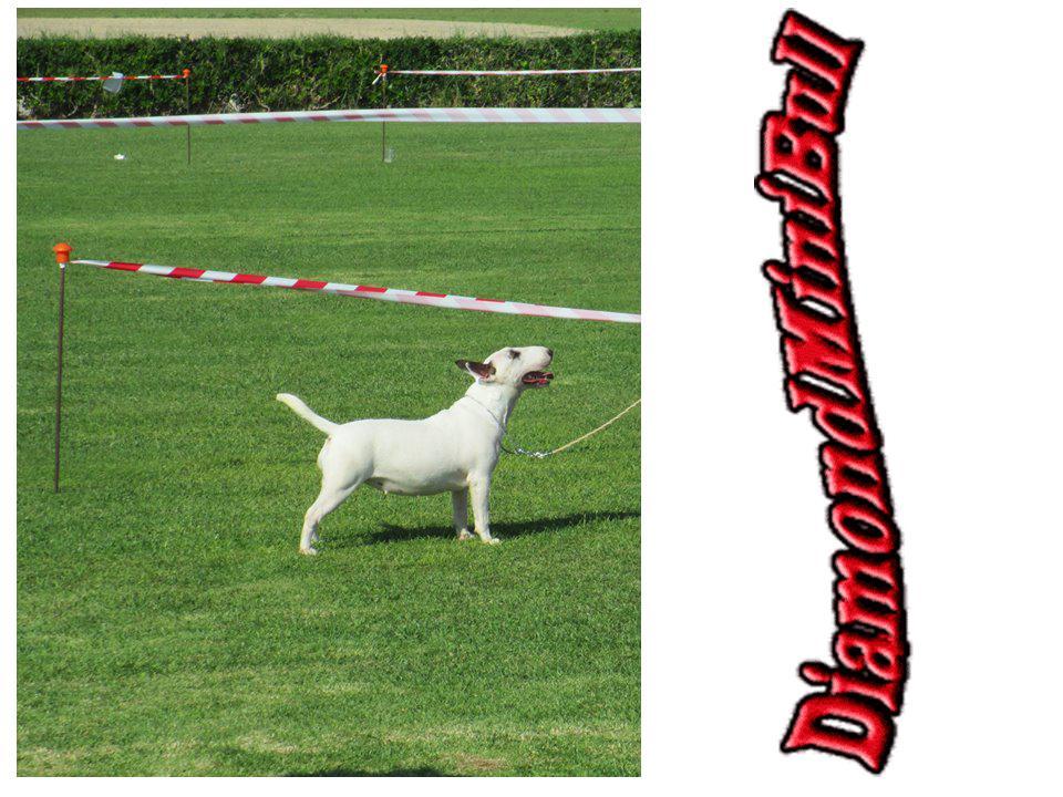 Hira-bull-terrier-mini (7)