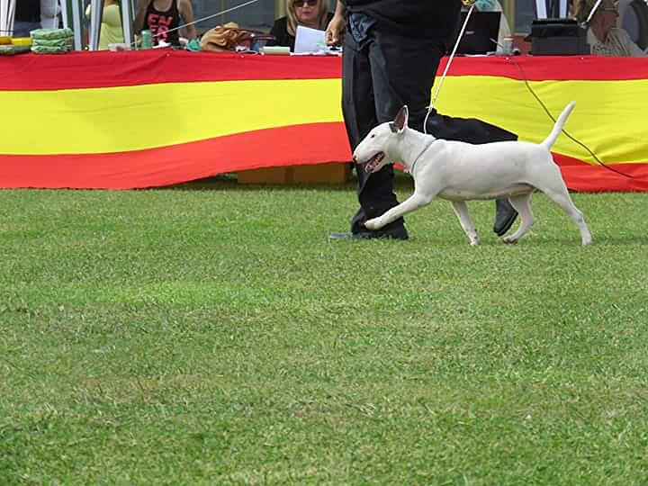 Hira-bull-terrier-mini (9)