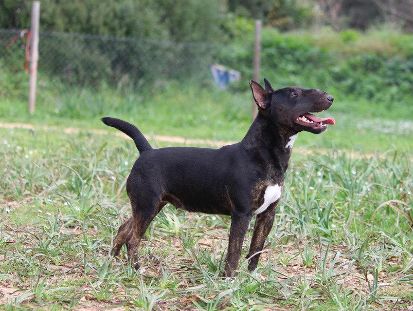Isla-bull-terrier-mini (1)