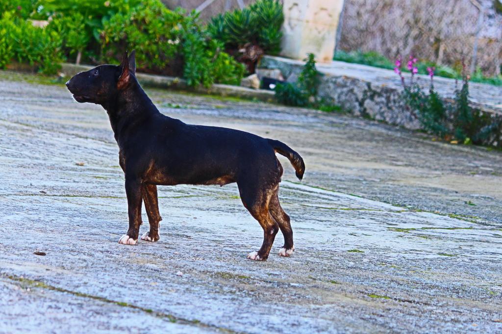 Isla-bull-terrier-mini (10)