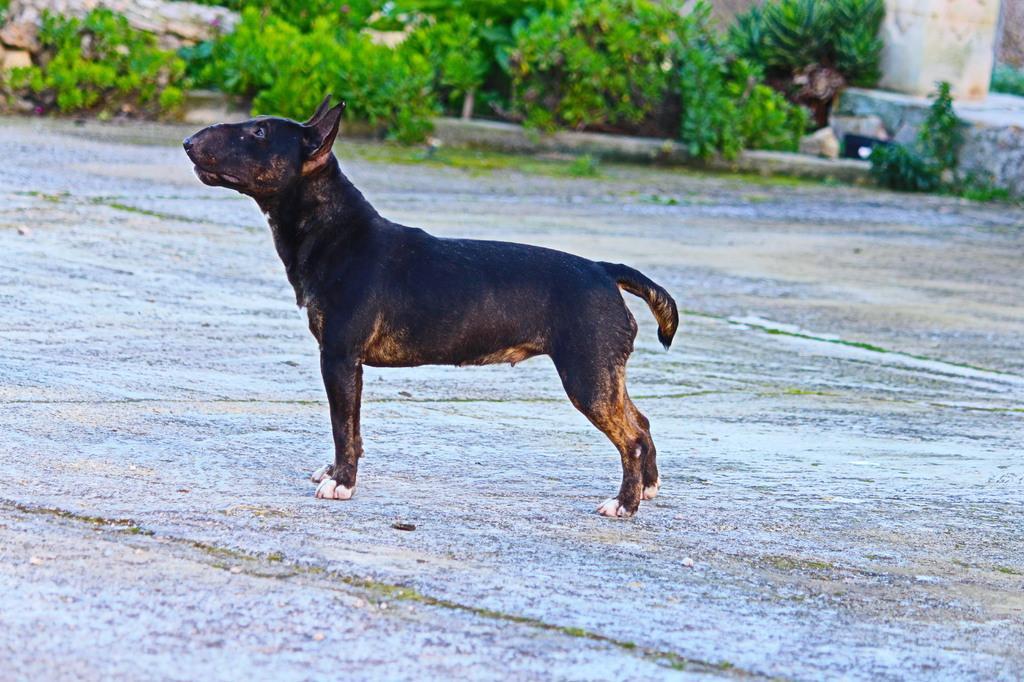 Isla-bull-terrier-mini (11)