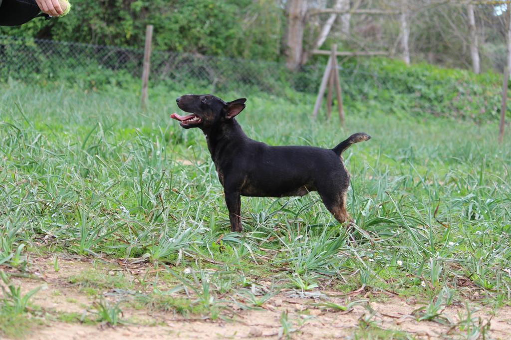 Isla-bull-terrier-mini (12)