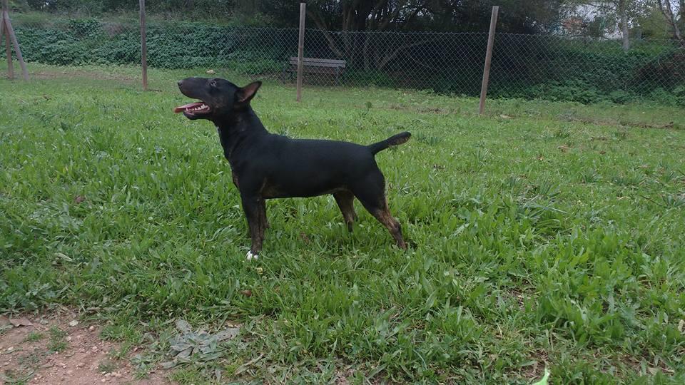 Isla-bull-terrier-mini (8)