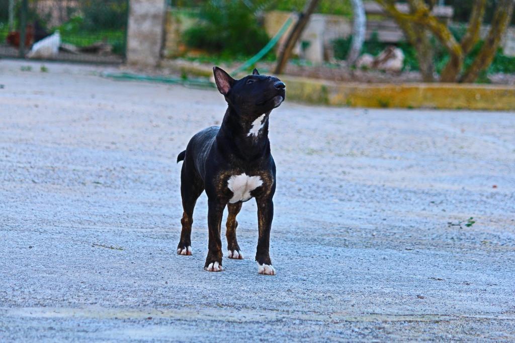 Isla-bull-terrier-mini (9)
