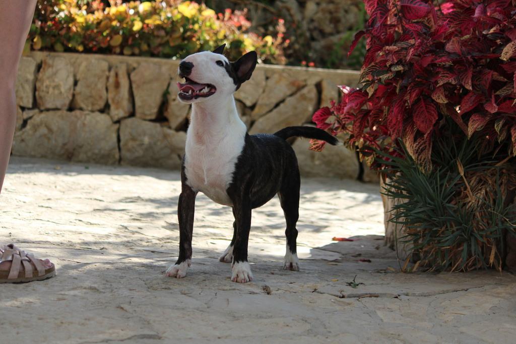 Ohana-bull-terrier-mini (1)