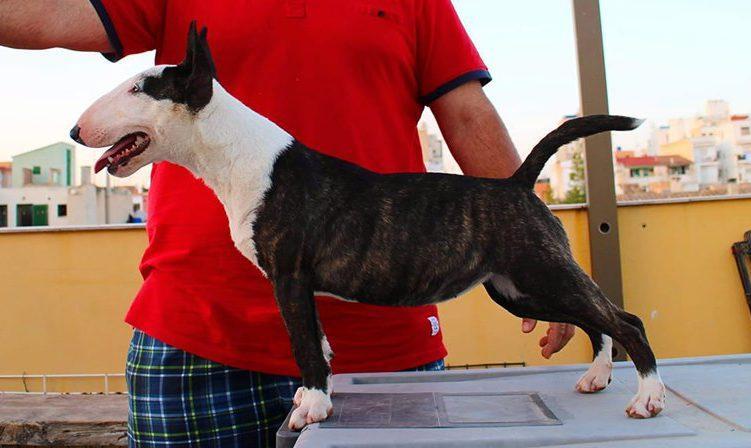 Ohana-bull-terrier-mini (3)