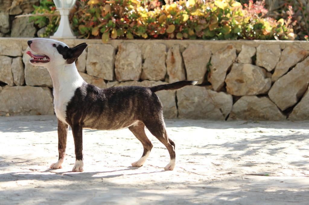 Ohana-bull-terrier-mini (6)