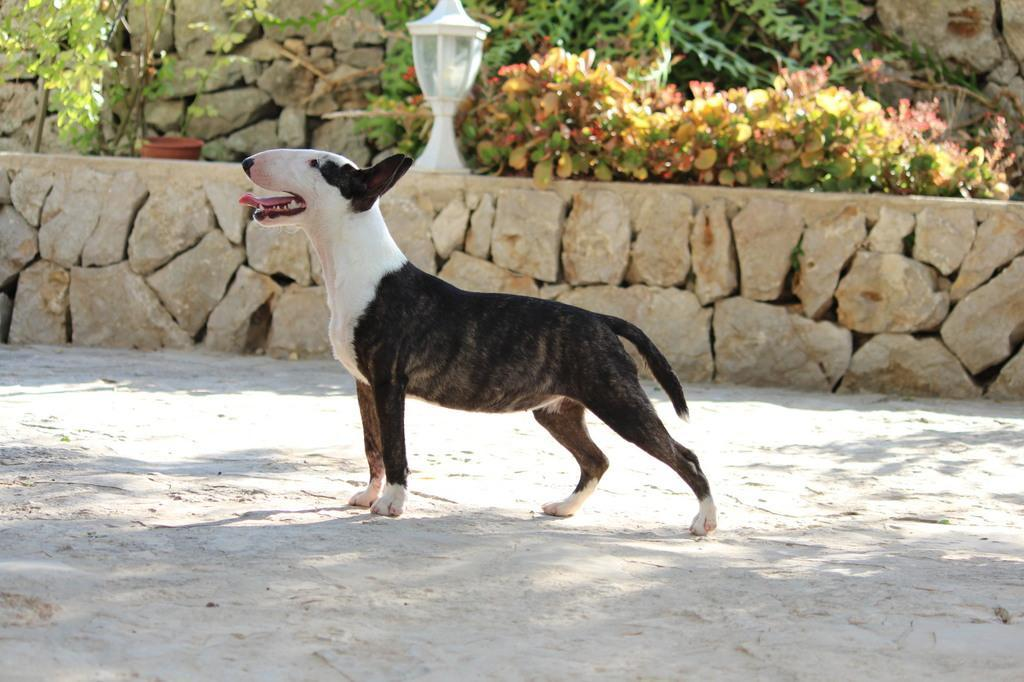 Ohana-bull-terrier-mini (7)