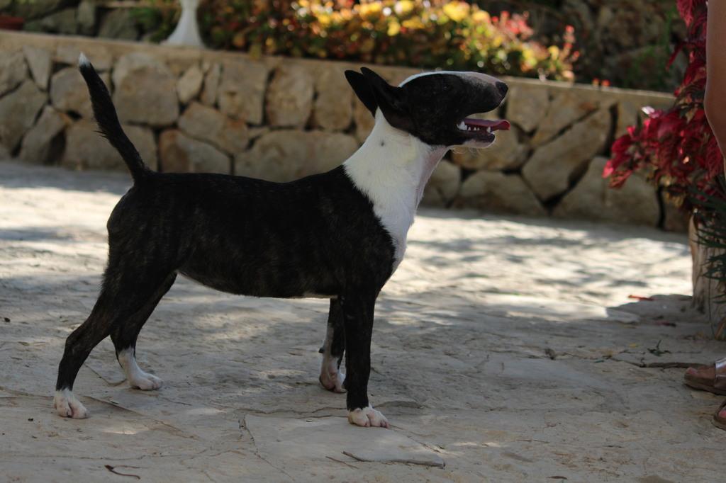 Ohana-bull-terrier-mini (9)