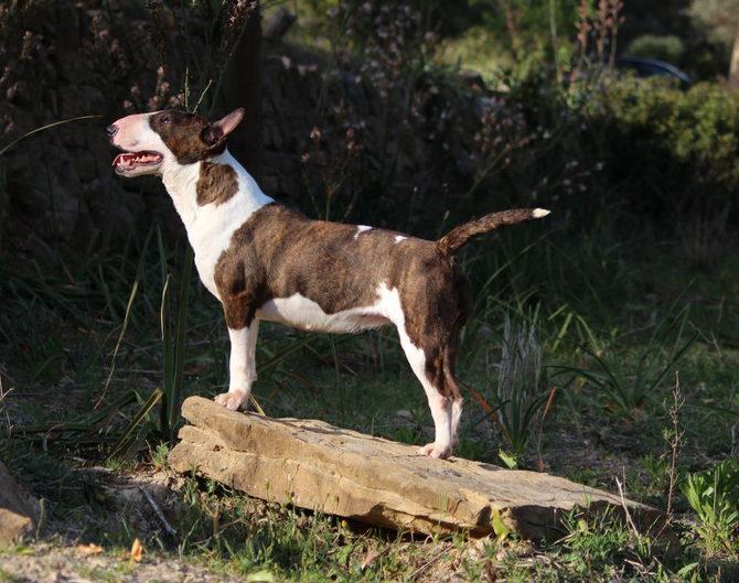 Zoe-bull-terrier-mini (1)