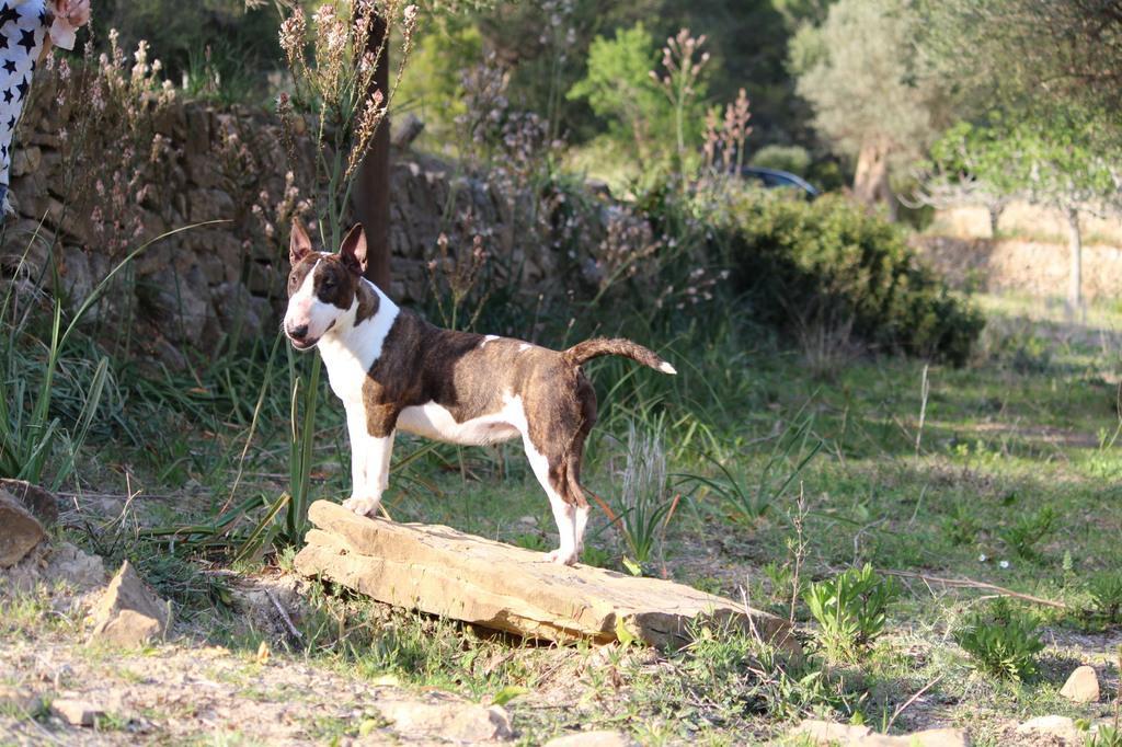 Zoe-bull-terrier-mini (2)