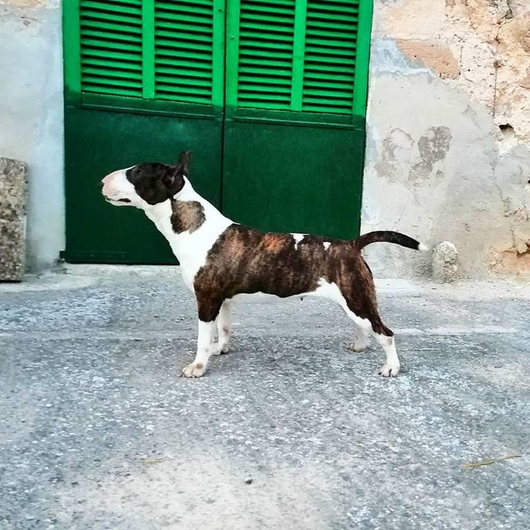 Zoe-bull-terrier-mini (3)