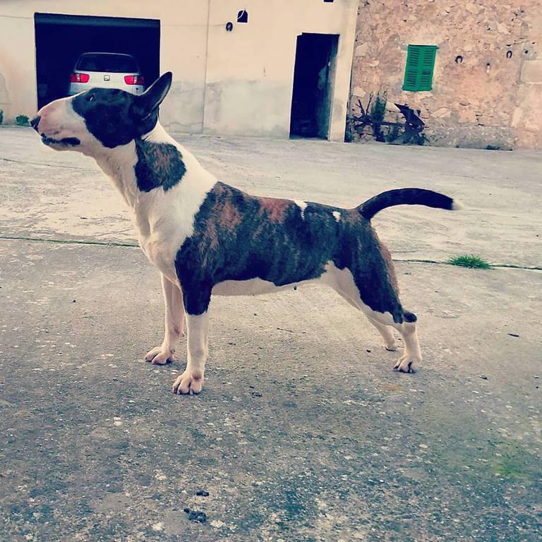 Zoe-bull-terrier-mini (4)