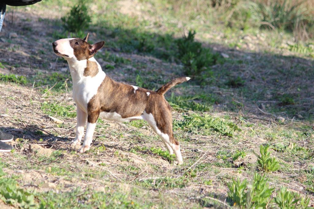 Zoe-bull-terrier-mini (5)