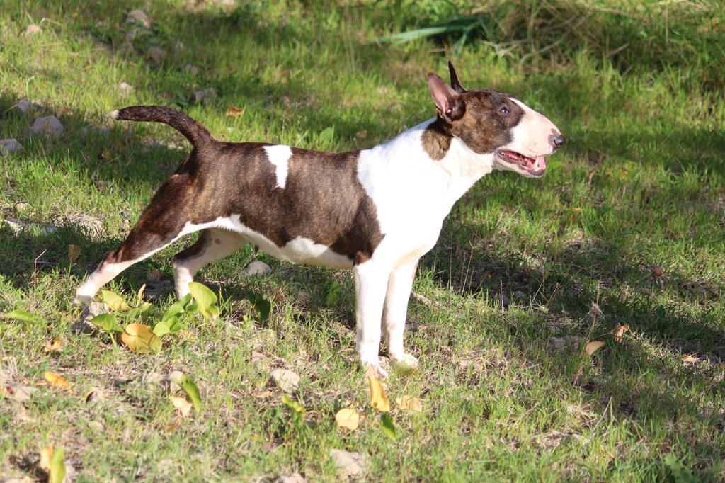 Zoe-bull-terrier-mini (6)